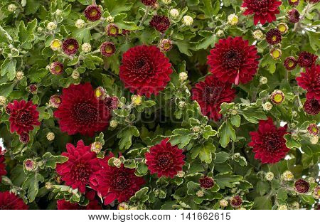 red chrysanthemum flower, autumn, fall, leaves close-up