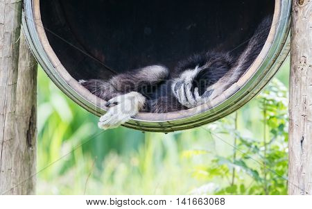 White Handed Gibbon Sleeping In A Barrel