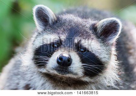 Eye To Eye With Raccoon, Selective Focus
