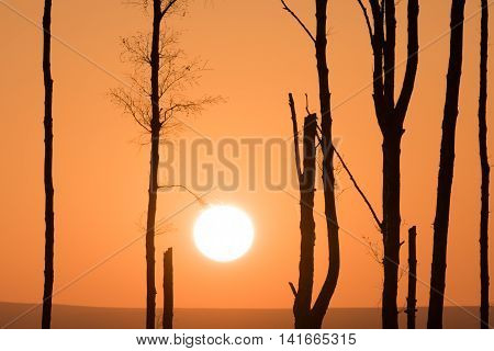 A large Sun like a lightbulb on a tree branch. A warm orange haze silhouettes the vertical lines of a sparse birch copse as the setting sun nears the horizon of the hills behind