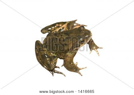 Frog Isolated