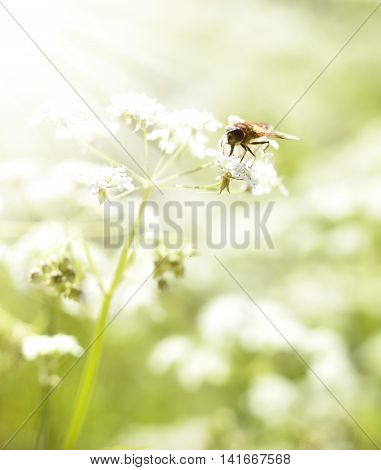 Bee or fly on a white flower with copy space.