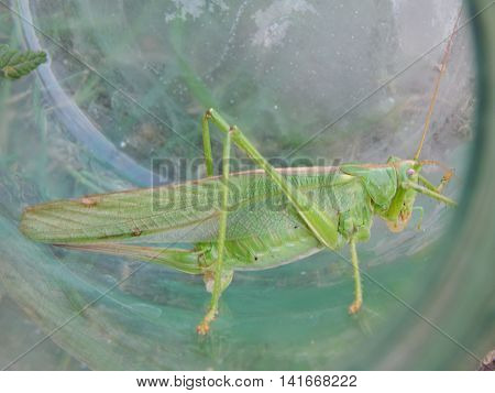Locust insect in jar closeup white, blue, animal