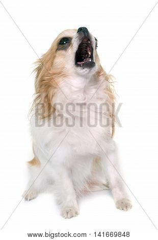 howling chihuahua in front of white background