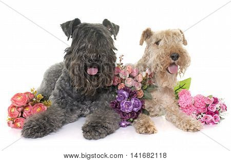 kerry blue terrier and lakeland terrier in front of white background