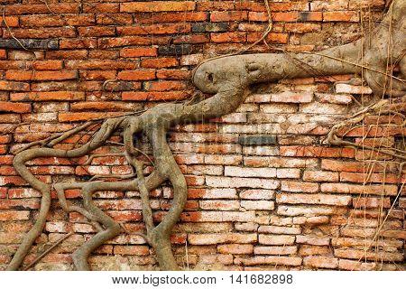 tree root covering the old brick wall in Wat Mahathat Ayutthaya