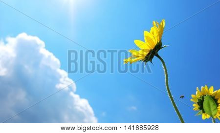 Sunflowers with cloud and sunny blue sky