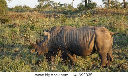 A rhino in the Kruger National Park in South Africa, on the mighty body are two Red-billed Oxpecker on foraging