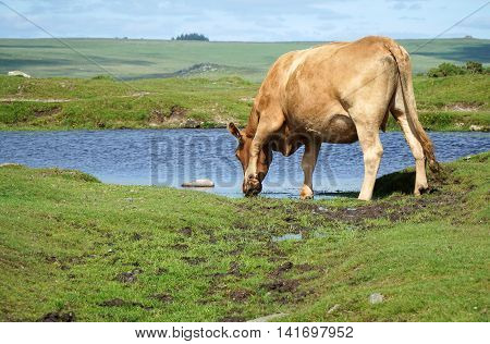 Cow drinking from a small pond in a summery hillside meadow