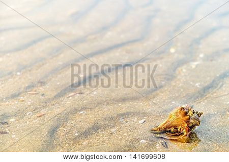 Hermit Crab in a screw shell on wet sand of a tropical sea beach selective focus