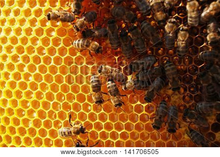 beekeeping - monitoring the sealing brood,  life and work of bees