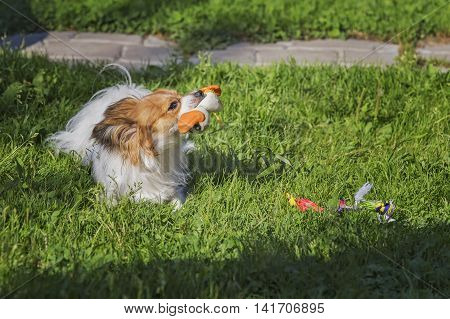 Papillon dog playing rubber toys on the green grass.