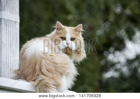 Persian cat sitting on wood railing outdoors summertime.
