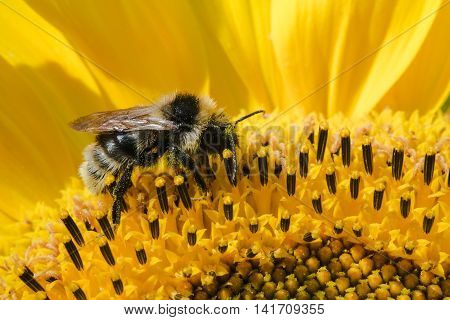 Honey bee collects pollen in the sunflower macro view