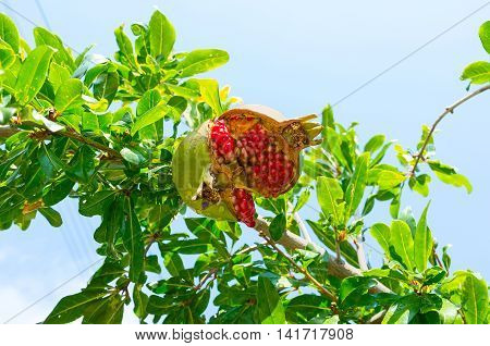 The split open pomegranate in drops of dew with red juicy seeds inside it hanging on the green branch in garden Troodos District Cyprus.