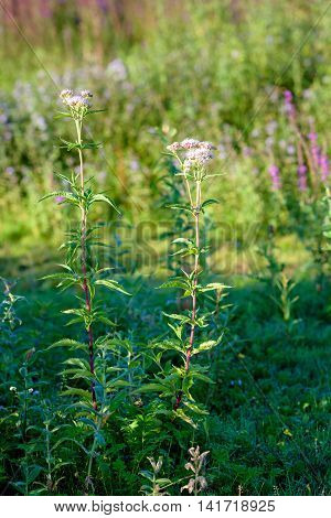 Budding and sweetly scented pink pastel colored blossoms of Valerian plants in their own natural habitat in a Dutch nature reserve in the summer season.