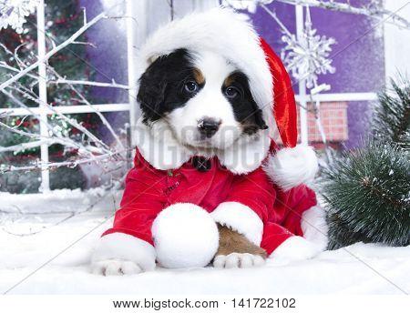 Christmas wreath on neck Bernese Mountain Dog
