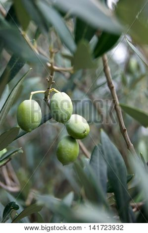 Green olive fruits on a tree branch