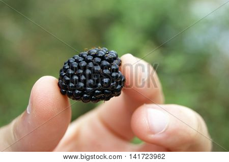 Ripe blackberries in the fingers of the human hand