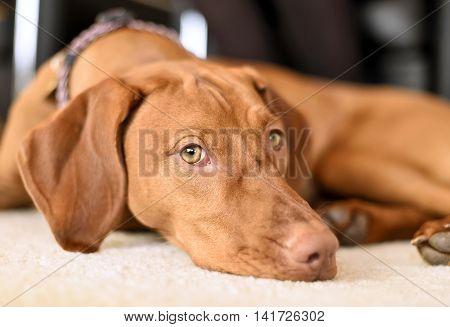 Cute viszla lying on a white carpet. Brown dog lying down.