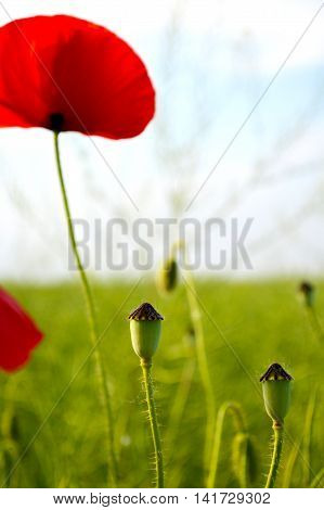 Red poppies on defocused of natural background of blooming field with space for text.