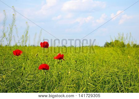 Amazing spring poppy field landscape against colorful sky and light clouds. Four poppies in the field.