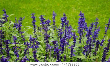 Blue and purple delphinium flowers on green bakcground