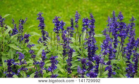 Blue and purple delphinium flowers on green bakcground