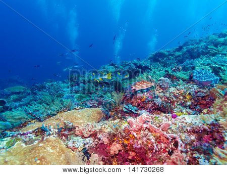 Underwater Landscape With Sweetlips Fishes