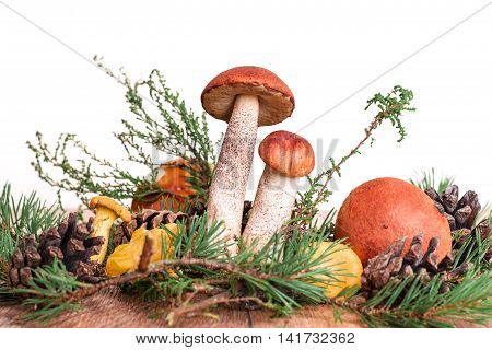 orange-cup boletus mushroom on pine branches and moss