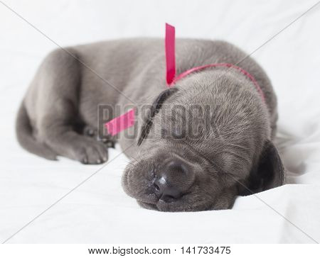 Young purebred Great Dane napping on a white sheet