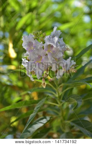 Chitalpa tashkentensis is the only kind of hybrid Chitalpa T. S. Elias & Wisura family Bignoniaceae Bignoniaceae.
