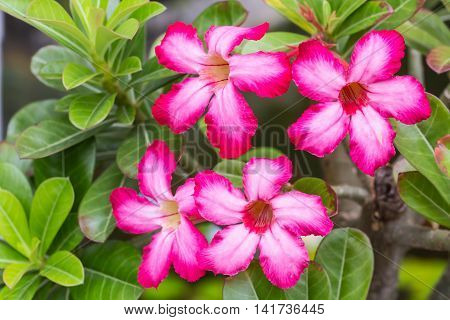 Impala Lily. Desert rose. Mock Azalea. Pinkbignonia. Adenium. Rose flower from tropical climate.