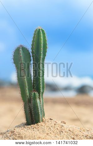 Cactus plant at the beach