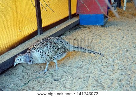 Pheasant in a pen on the sand