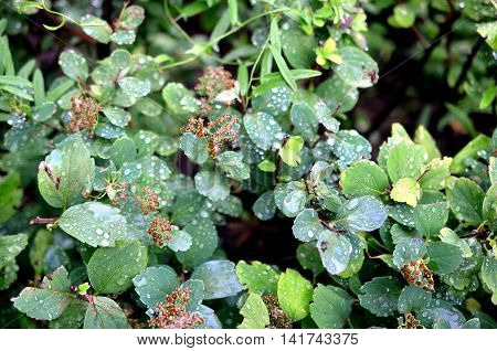 wet green leaves on the bushes after rainfall