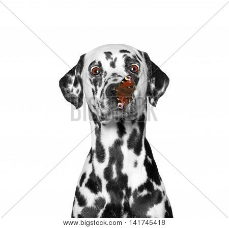 Сute dog looks at butterfly at his nose -- isolated on white