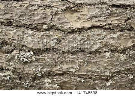 wooden texture of bark of a pine of beige color closeup for an abstract natural background