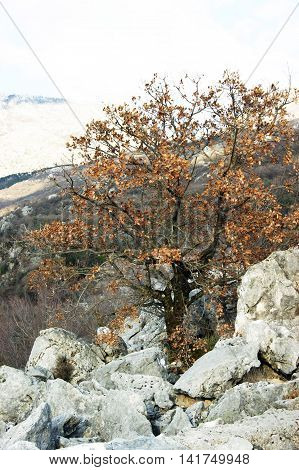 Oak tree in the mountains in autumn
