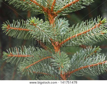 Pine (conifer of genus Pinus family Pinaceae) tree