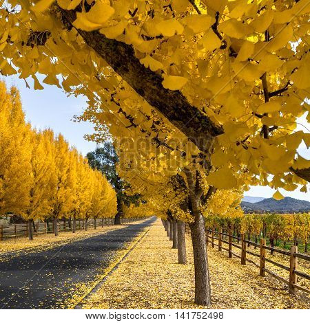 Closeup of yellow gingko trees in Napa vineyard in autumn. Gingko leaves in trees that line road to Far Niente winery in California. Napa Valley vineyard at harvest time.