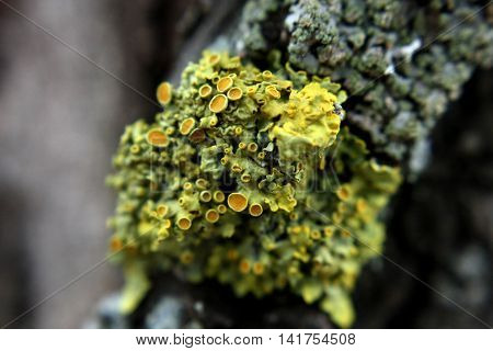 Ksantor lichen growing on the south side of the birch
