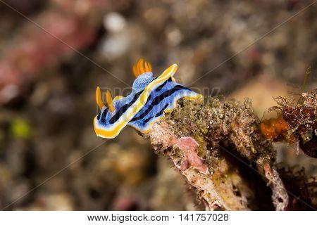 Chromodoris Annae Nudibranch Sea Slug