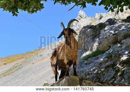 image of wild mountain goat on the rock