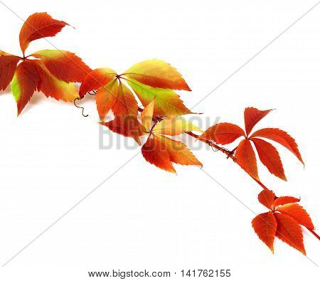 Red autumn branch of grapes leaves (Parthenocissus quinquefolia foliage). Isolated on white background.