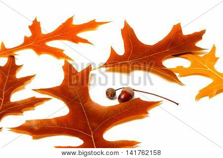 Autumn leafs of oak and acorns on white background
