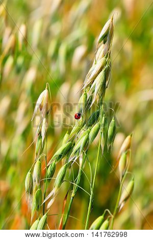 Oats seed (lat. Avena sativa) is a genus of annual herbaceous plants of the family Gramineae or Grasses (Poaceae). The plant in the seed field