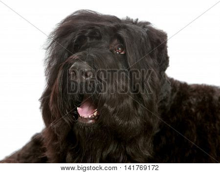 Large black shaggy dog lying tired on the floor - Isolated on white background