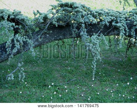 Cedro en el Jardín Botánico del Parque José Antonio Labordeta. Zaragoza. España.