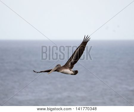 Brown Pelican (Pelecanus occidentalis) flying over the Pacific Ocean. Brown Pelican flapping and gliding over the coastal water of northern california.